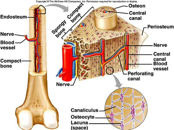 Anatomy of compact bone